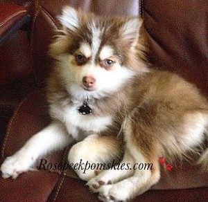 25/75 Pomsky Teen Photo