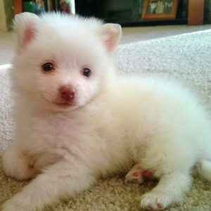 Leo the Pomsky Photo