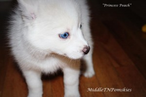 Princess Peach The Pomsky