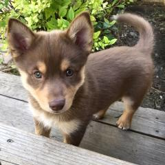 Sun Valley Pomskies Litter Update 7.27.2017