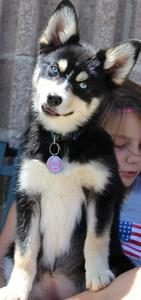 50/50 Pomsky Teen Photo