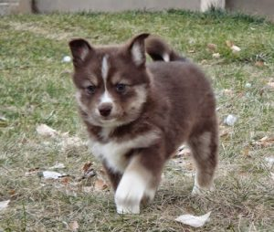 Pomsky Northerns Puppy