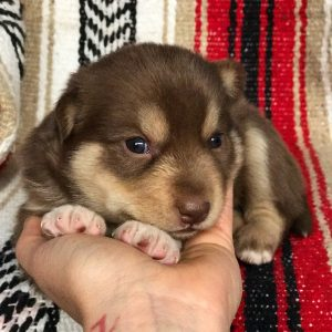Sun Valley Pomskies Puppy