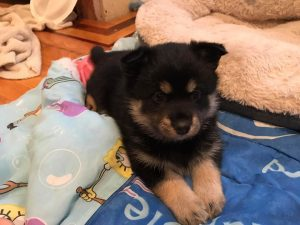 Hill Top Pomskies Puppy