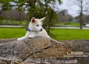 Pomsky Puppy Laying