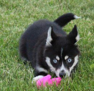 Once Upon A Pomsky Puppy