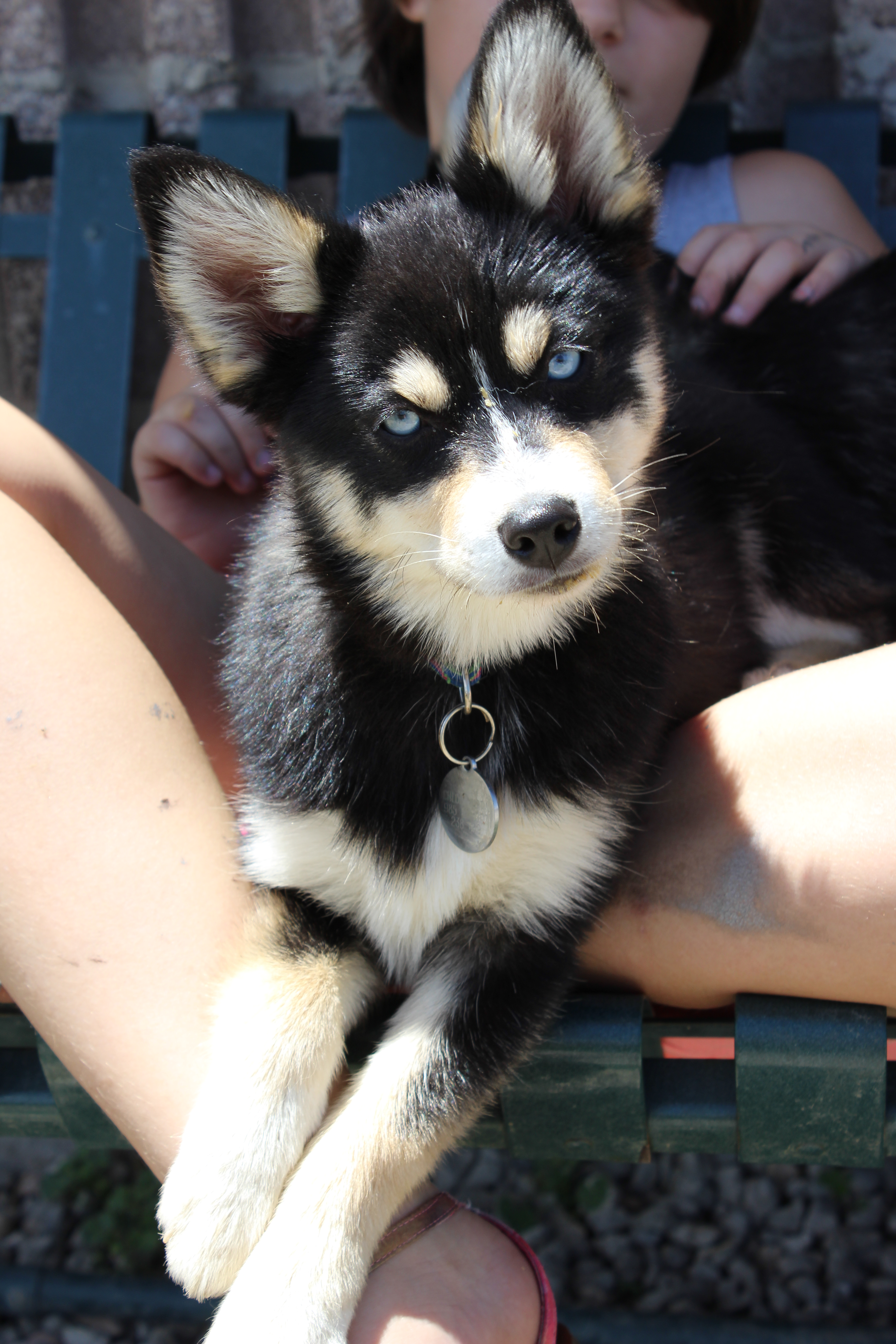 Mountain Shadow Pomskies Puppy