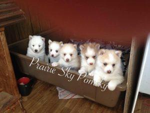 Prairie Sky Pomsky Puppy