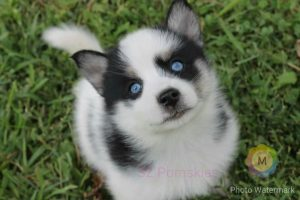 SZ Pomskies 2016 Pomsky of the year submission (2)